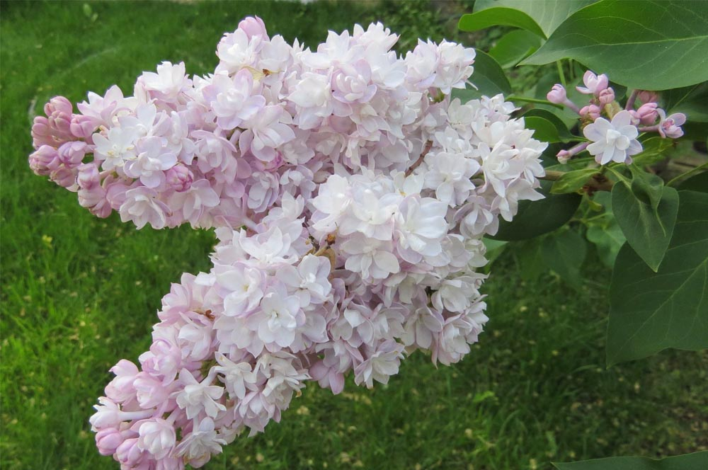 trees and shrubs lilac