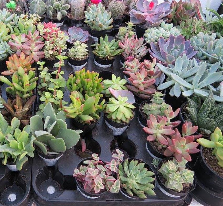 plant ranch succulents